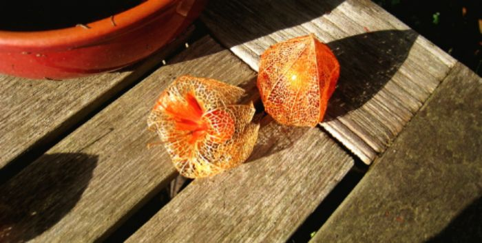 Chinese lanterns at the end of Autumn