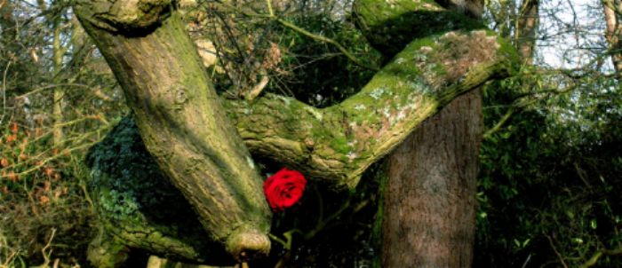 A rose without a thorn...