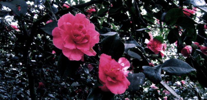 Camellias, Isabella plantation