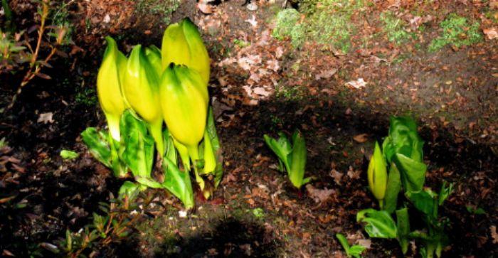 Skunk cabbage, Isabella plantation