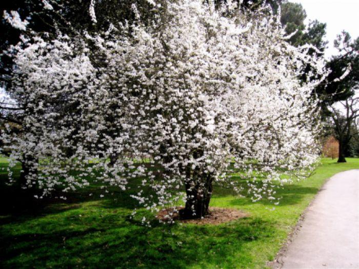 Spring blossom, Kew
