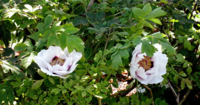 Exotic paeonies grace the 'white' garden