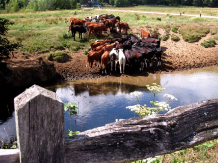 Cows at Cowdray