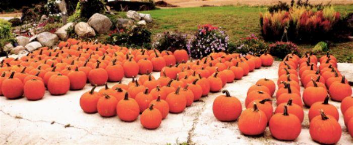 Pumpkins galore at the roadside store