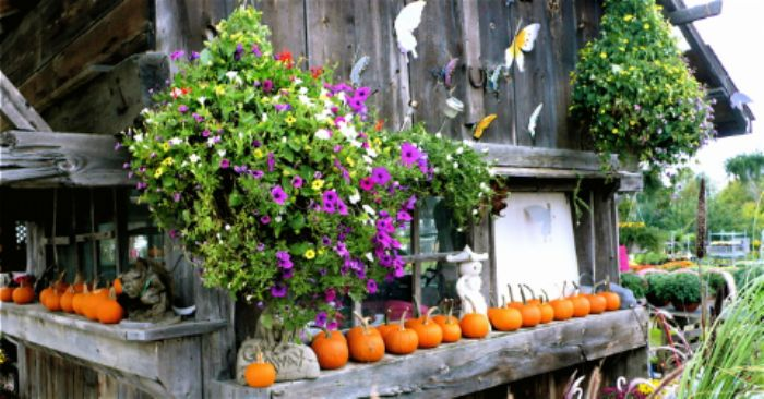 Rustic idyll with petunias and pumpkins