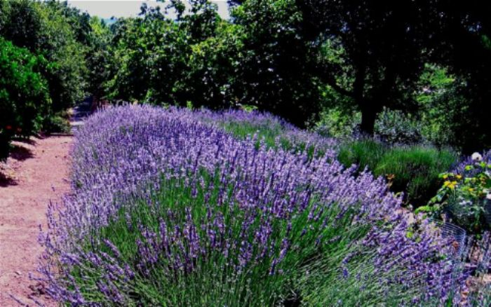 Lavender deluxe
