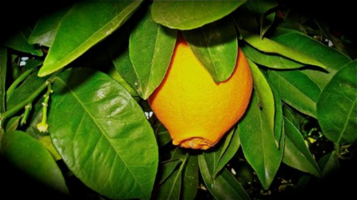 The orange I ate ...