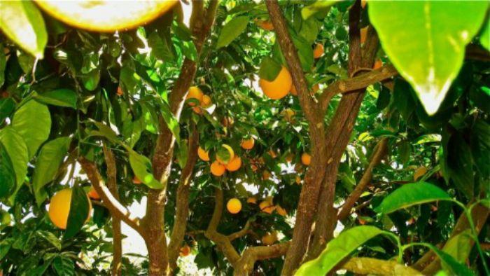 Oranges galore!