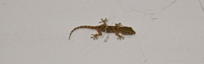 Our baby gecko, who shares our bedroom ...