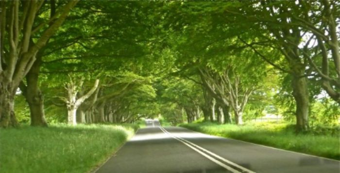 An avenue of beech trees lining the road to Kingston Lacy