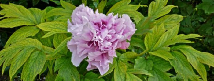 Kingston Lacy - paeony pink