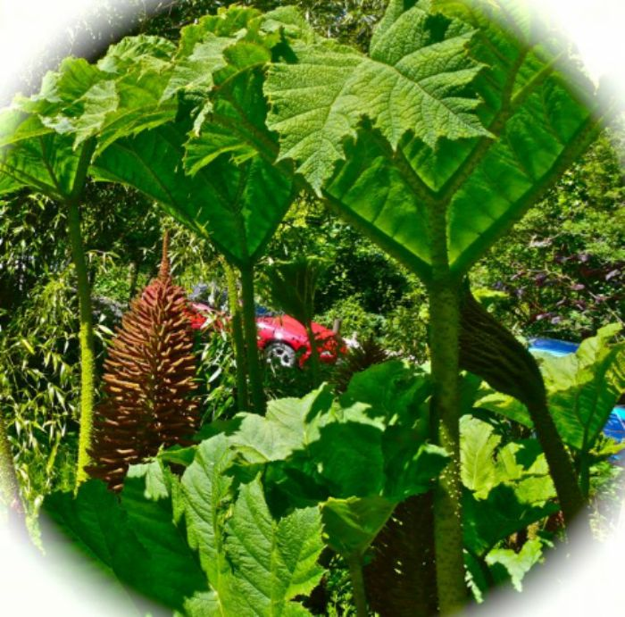 Red car in danger of being swallowed by giant gunnera ...