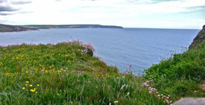 Sea thrift at the top of Burgh Island ...