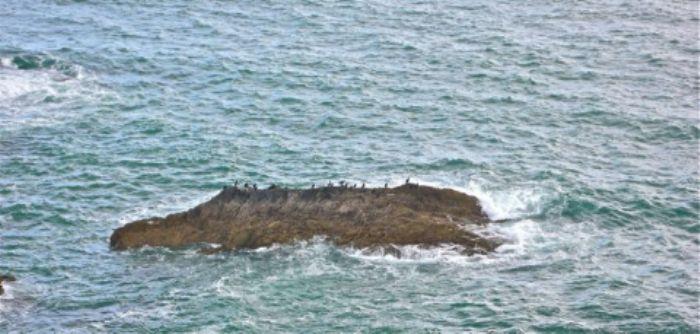 A sea monster shaped rock beloved by cormorants - Burgh Island