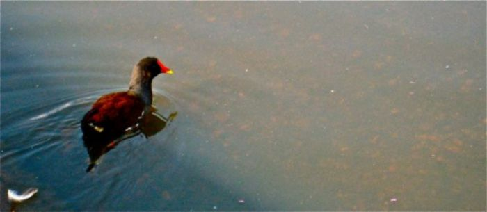 Moorhen scouting around Barnes Pond ...