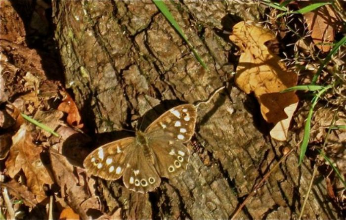 Speckled wood butterfly - Richmond Park