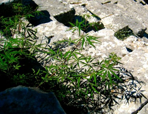 Xanthos - A strong smell of hashish ...