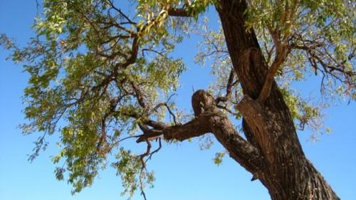 Patara - the mastic tree ...