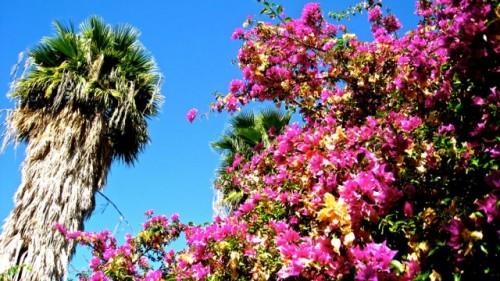 Kaunos - bougainvillea and palm