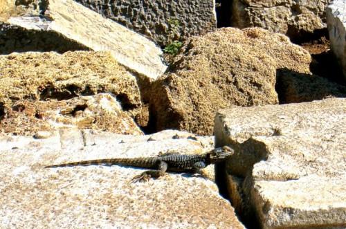 Kaunos - 'komodo dragon' lizard