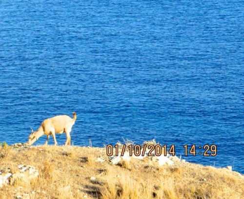 Knidos - goat on the cliff edge
