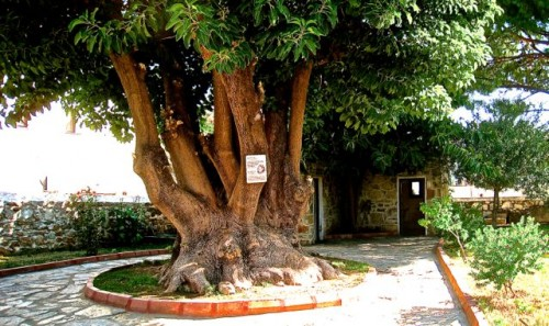 Ancient 'tree of life' at the Mausoleum site