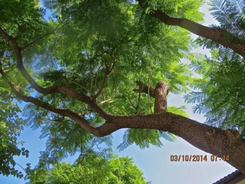 Mausoleum - an acacia tree?