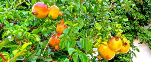 Kas - pomegranates