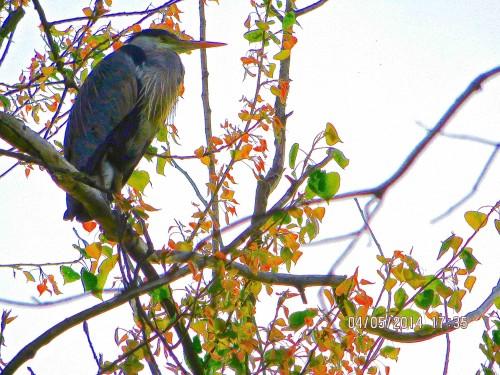 A Barnes heron