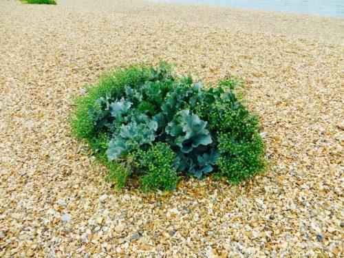 Keyhaven - sea cabbage