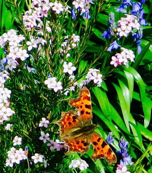 Early comma butterfly with bluebells - I hope it survived those fickle Spring days ...