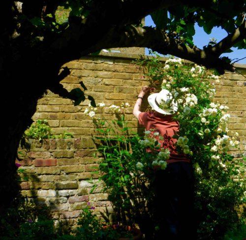 John enveloped by roses - Malvern Hills