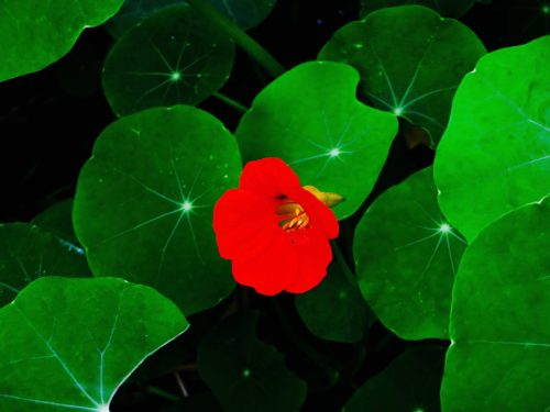 Nasturtiums are very hardy and spread like wildfire - with vibrant colour...