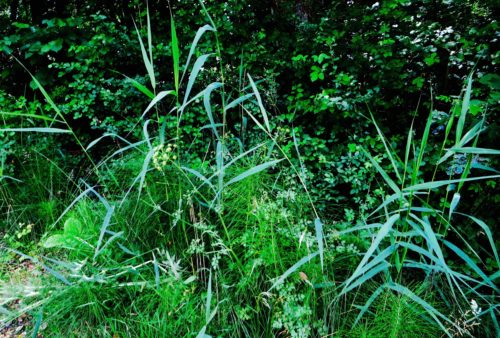 Wild grasses and horsetail