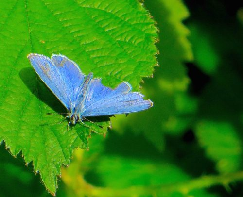 A mysterious blue butterfly - Barnes