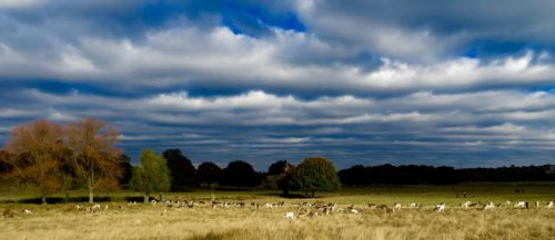 Clouds gathering above the deer in Richmond Park