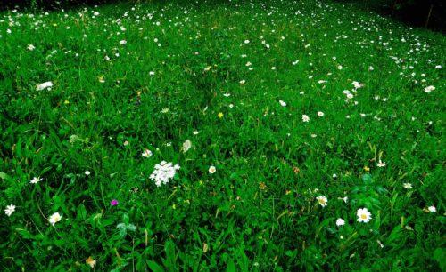 Wildflower meadow at Kew